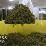 What It's Like Inside A Canadian Marijuana Greenhouse