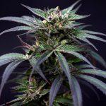 Does marijuana hurt or help your brain? Scientists rush to study the drug's impact   Marijuana